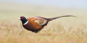 pheasant in field